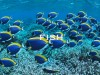 -powderblue-surgeonfish