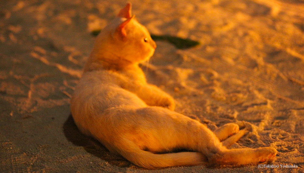 maldives sundown cat